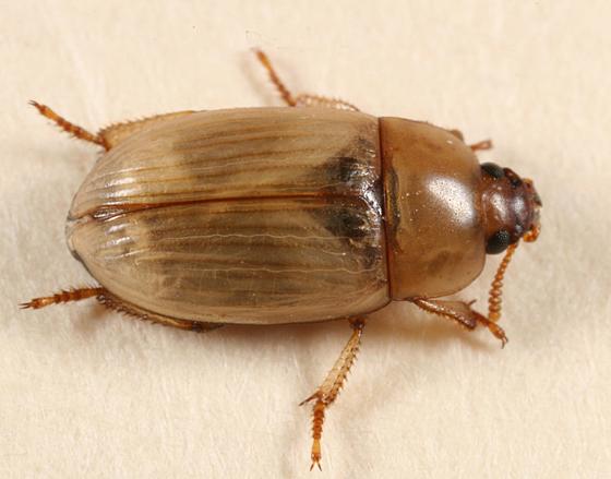 tan beetle - Phaleria testacea