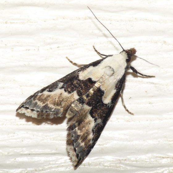 Thin-winged Owlet Moth? - Nigetia formosalis