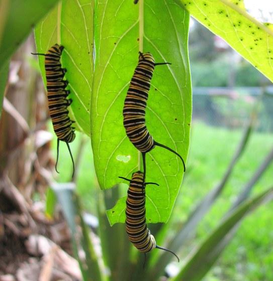 Monarch Caterpillar - Danaus plexippus - Danaus plexippus
