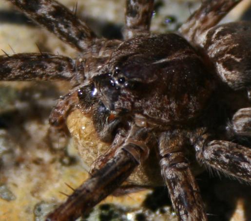 Spider, Campton, NH - Dolomedes scriptus