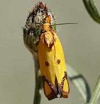Sulphur Knapweed Moth  - Agapeta zoegana