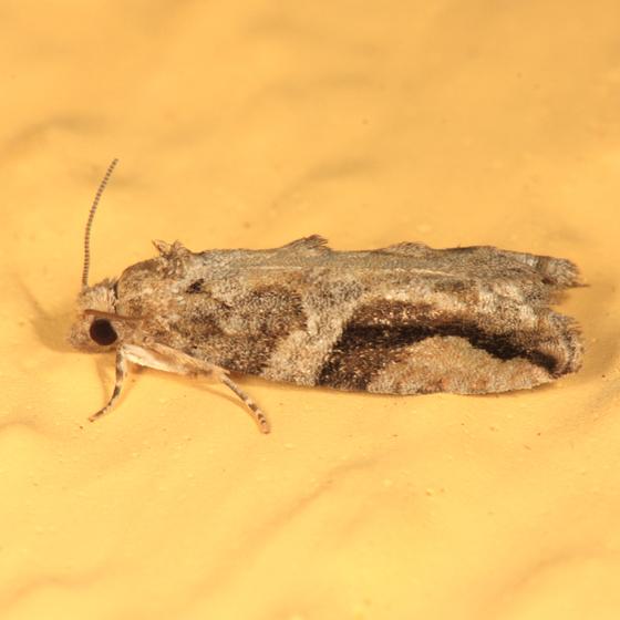 Black-crescent Proteoteras - Proteoteras crescentana