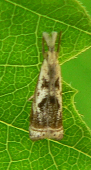 Elegant Grass-veneer Moth - Microcrambus elegans