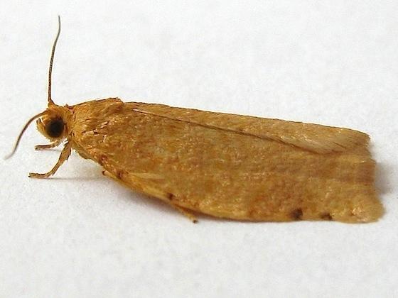 Ugly-nest Caterpillar Moth - Archips cerasivorana