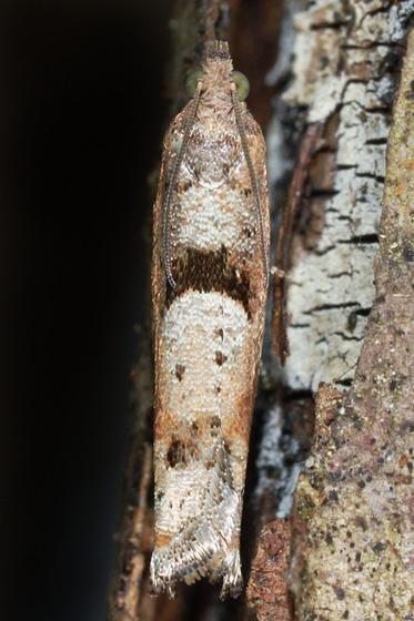 moth - Pseudexentera