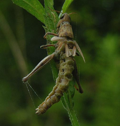 Abdominal structure of Grasshopper - Dichromorpha viridis - female