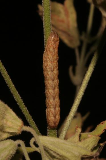 Noctuidae (Silene) - Hadena ectypa