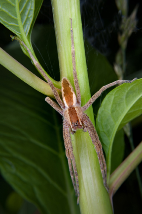 What kind of spider is this?  Name? - Pisaurina mira