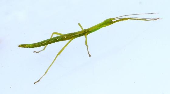 a very young Walkingstick - Diapheromera femorata