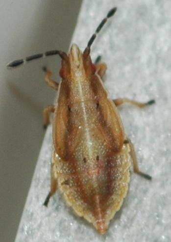 Bug on seeds - Cymus