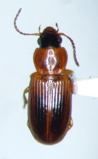 Acupalpus partiarius
