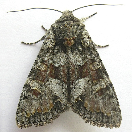 Western Apamea Moth - Apamea occidens