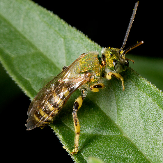 Species Agapostemon texanus - Agapostemon - male