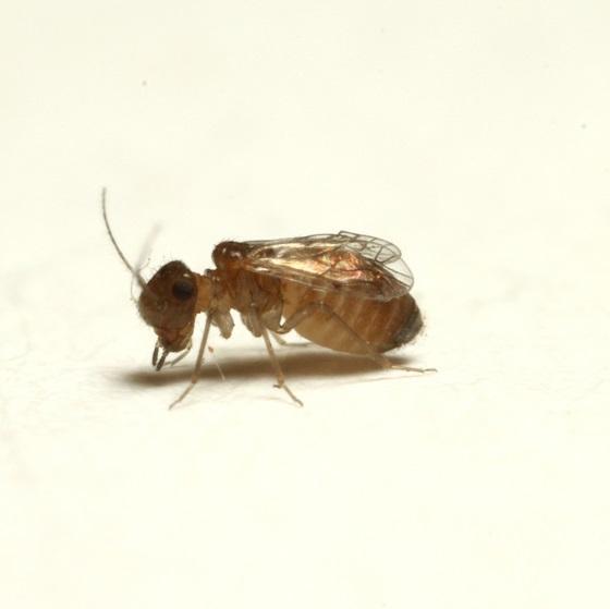 Lachesilla pedicularia  (Linnaeus) - Lachesilla pedicularia - female