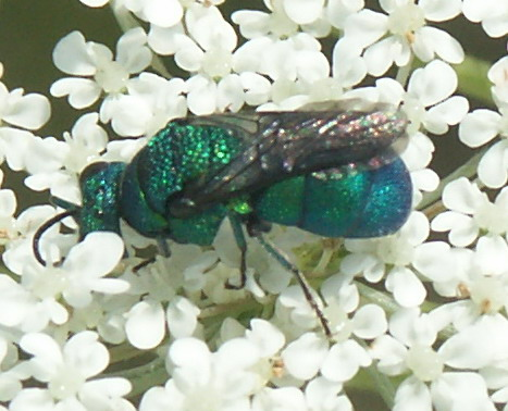 Metallic fly - Holopyga ventralis