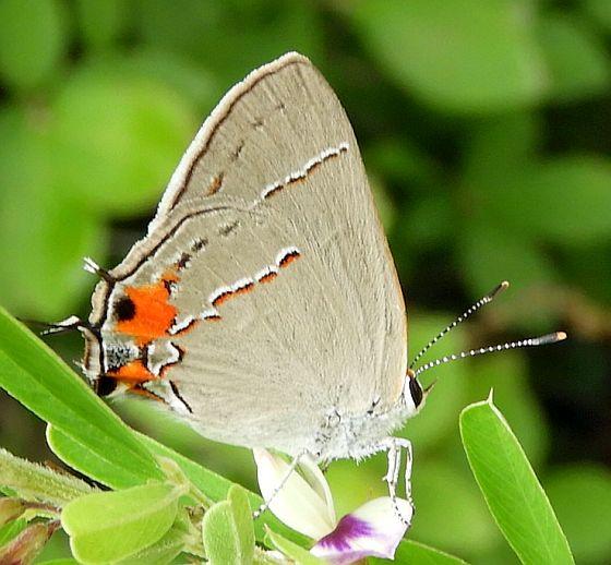 New Jersey Butterfly - Strymon melinus