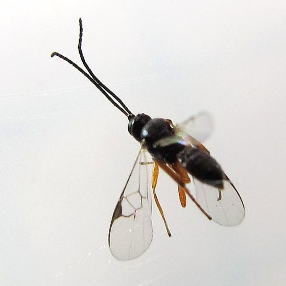 wasp - July 16 - Cotesia
