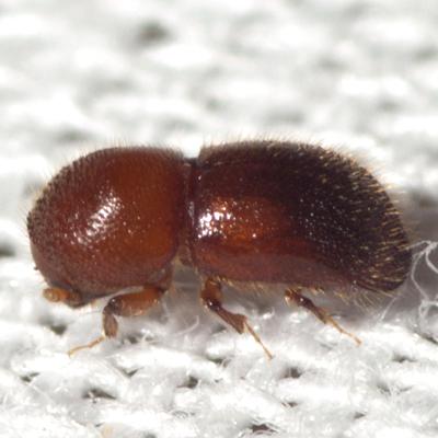 Asian Ambrosia Beetle - Xylosandrus crassiusculus