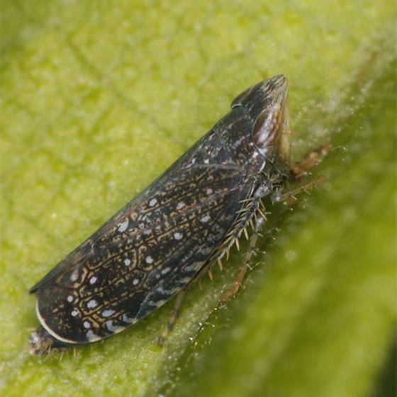 Leafhopper ??? - Scaphytopius frontalis