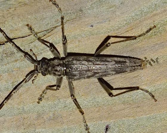 Longhorn Beetle - Elytrimitatrix undata