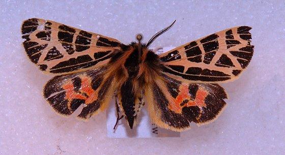 What species of arctiine is this? - Apantesis ornata
