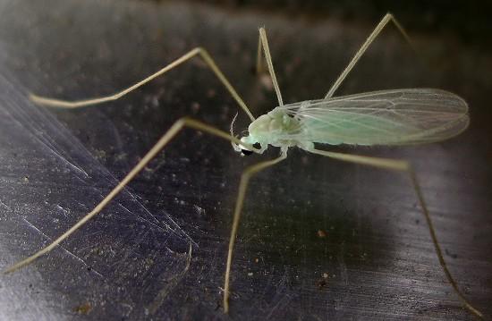 green crane fly - Erioptera chlorophylla