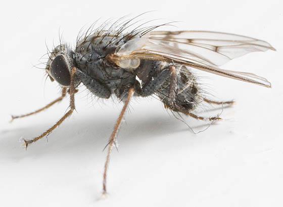 House Fly - Caricea