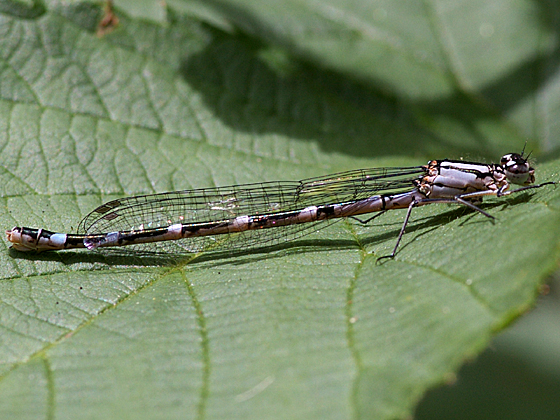 Northern Bluet (Damselfly) - Enallagma annexum - female