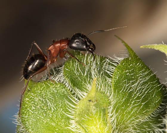id this ant? - Camponotus vicinus