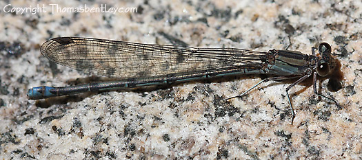 Damselfly - Argia lacrimans - female