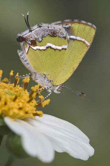 Silver-Banded Hairstreak - Chlorostrymon simaethis - male