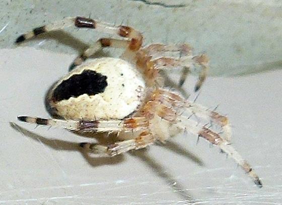 Most watched 2012  - Araneus marmoreus - female