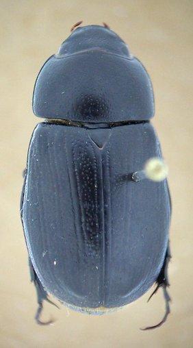 D. morator - Dyscinetus morator