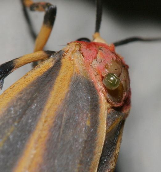 Parasite on Lichen moth - Hypoprepia fucosa