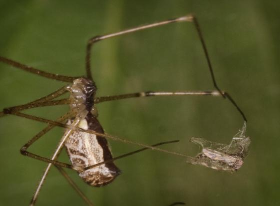 Spider with prey - Holocnemus pluchei