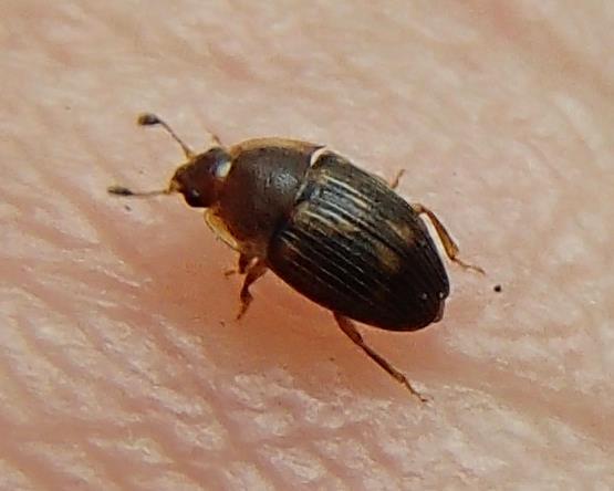 Beetle - Stelidota