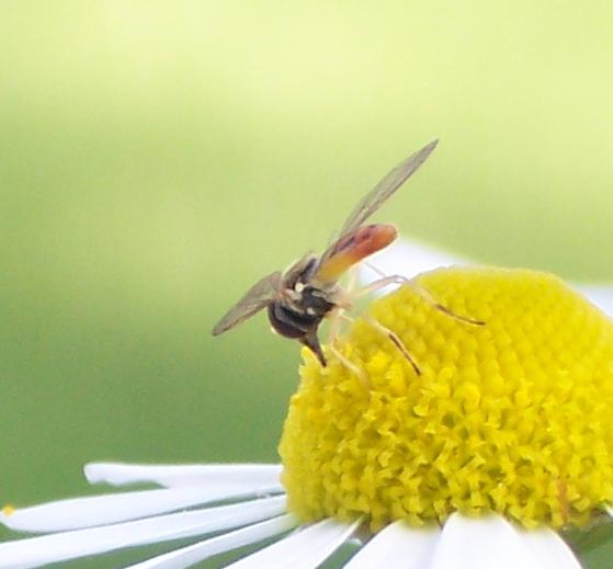 Unidentified Michigan Syrphids - Toxomerus marginatus
