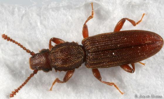 Oryzaephilus - grain beetle - Oryzaephilus mercator