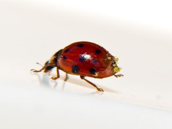 Ladybug with Fungus? - Harmonia axyridis