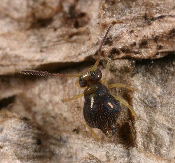 Globular Springtail - Pseudobourletiella spinata