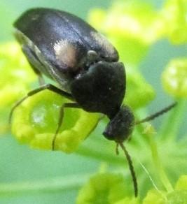 mordellid - Mordellochroa scapularis