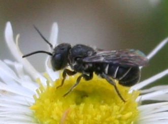 Little Bee [Heriades? variolosus??] ID Request - Heriades - male