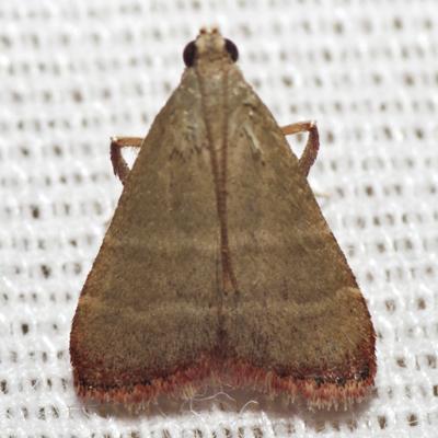 Olive Arta Moth - Hodges #5568 - Arta olivalis