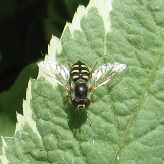 Syrphidae 02a - Eupeodes volucris