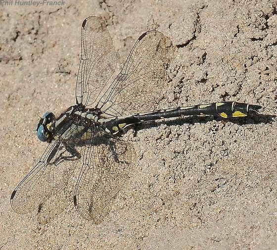Dragonfly - Phanogomphus kurilis - male