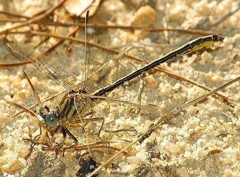 Hodge's Clubtail - Phanogomphus hodgesi - male