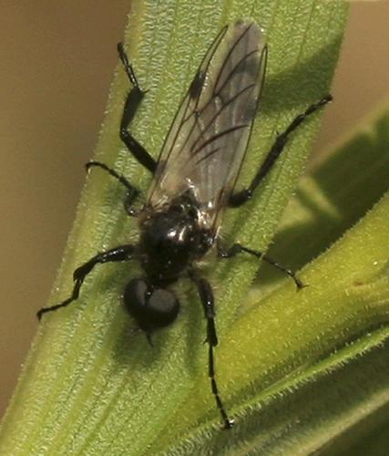 Small Fly - Bibio albipennis