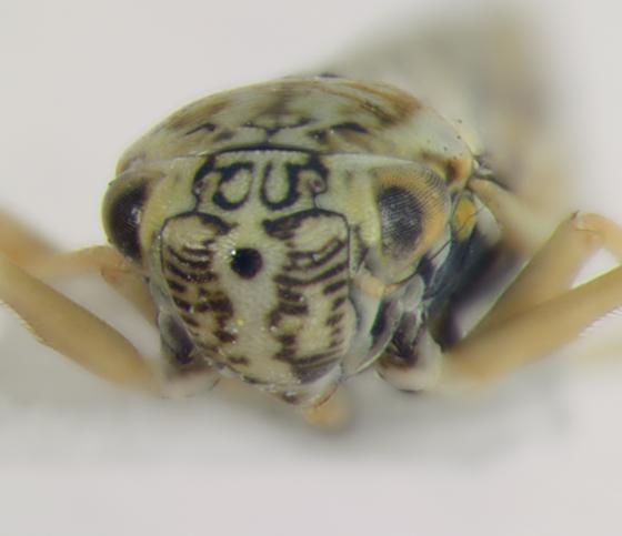 Cicadellidae, face - Graphocephala gothica