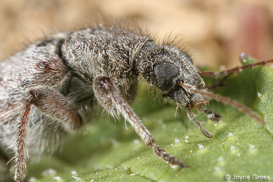 beetle - Retocomus