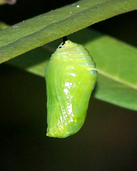 The forming of a chrysalis - Danaus plexippus